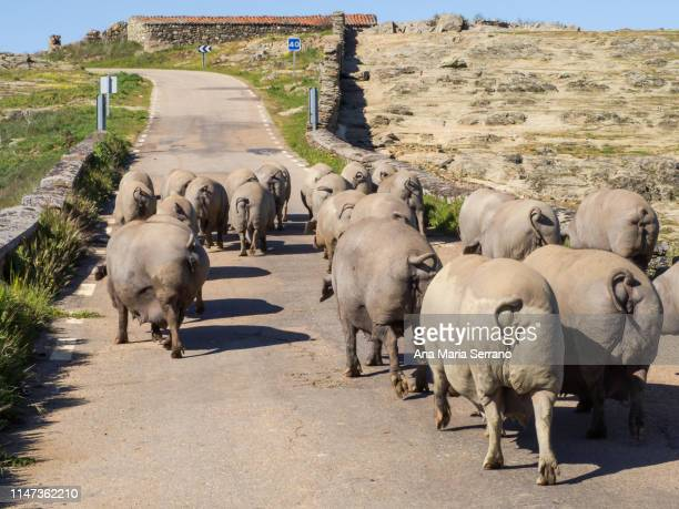 two shepherds with a herd of female iberian pigs on a rural road in salamanca (spain) - culture espagnole photos et images de collection