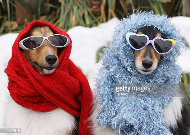 two shetland sheepdogs wearing sunglasses and scarves in winter - funny animals stock pictures, royalty-free photos & images
