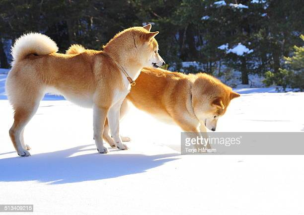 Two Shiba Inu in snow