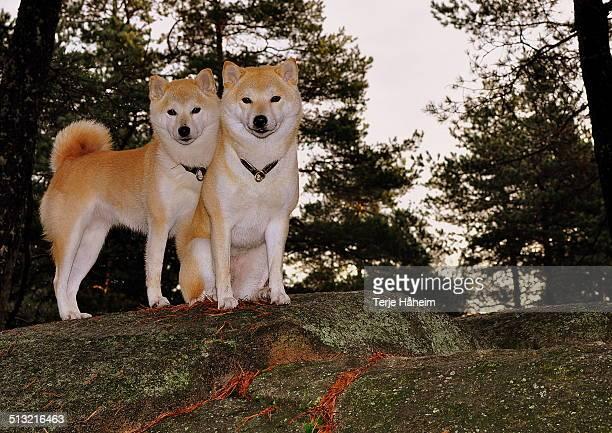 Two Shiba Inu