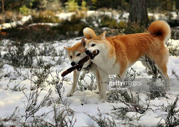 two shiba inu playing with a stick - shiba inu winter stock pictures, royalty-free photos & images