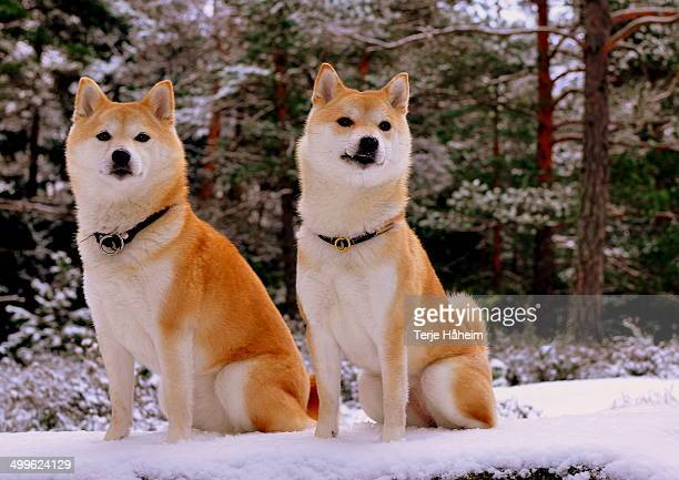 two shibas in snow - shiba inu winter stock pictures, royalty-free photos & images