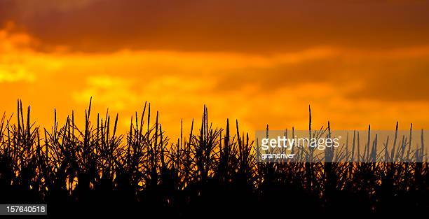 two shot panoramic cornfield under beautiful sunset - indiana stock pictures, royalty-free photos & images