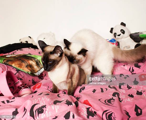 Two Siamese cats on bed