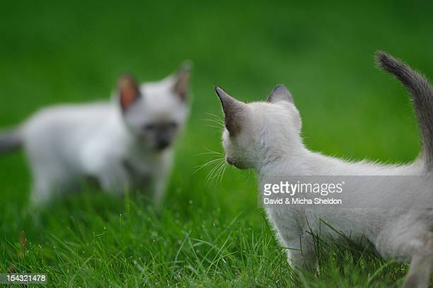 Two Siamese kittens facing each other