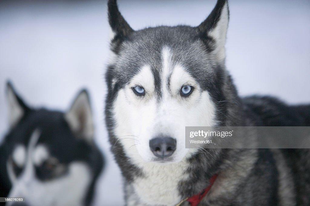 Two Siberian huskies in snow : Stock-Foto