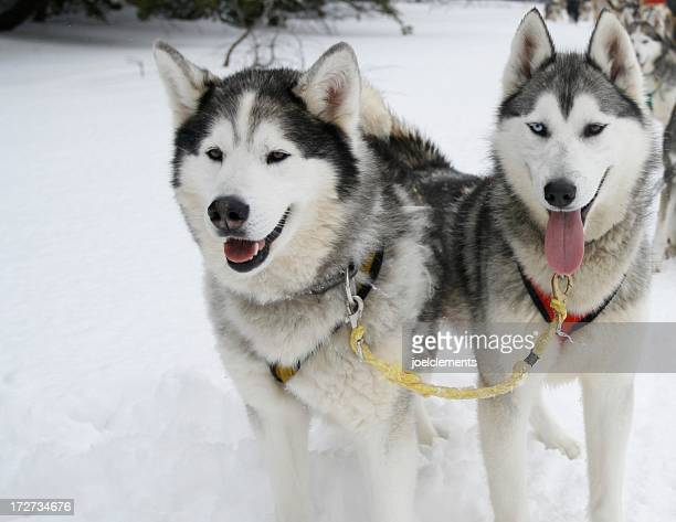 Two Siberian husky dogs pulling a sled