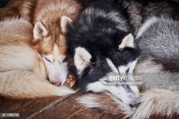 Two siberian husky sleeping side by side