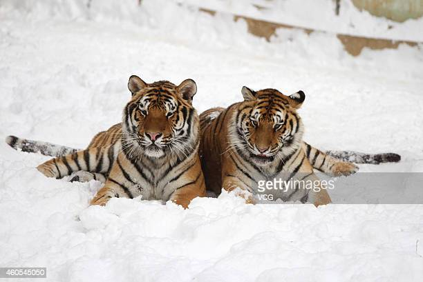 Two Siberian Tigers play in the snow at Nanshan Zoo on December 16 2014 in Yantai Shandong province of China Heavy snow fell in China's east Shandong...
