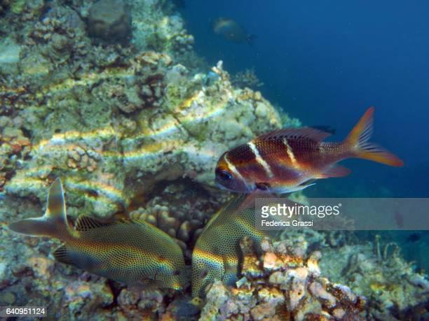 Two Siganus Punctatus (Goldspotted Rabbitfish)