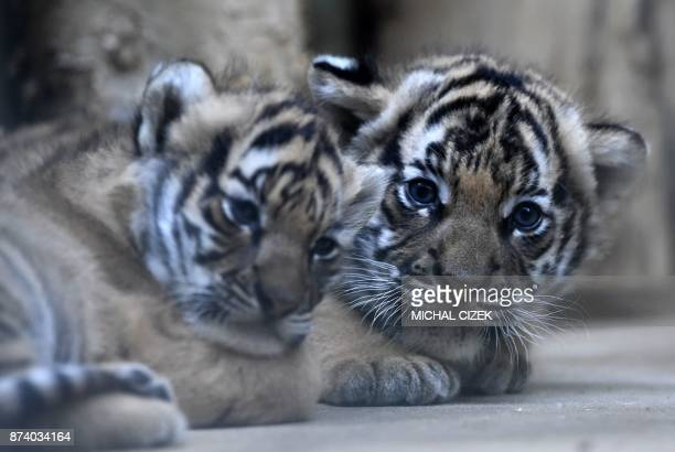 Two sixweeksold Malaysian tiger cubs are pictured in their inclosure on November 14 2017 at the zoo in Prague The baby tigers were born on October 3...