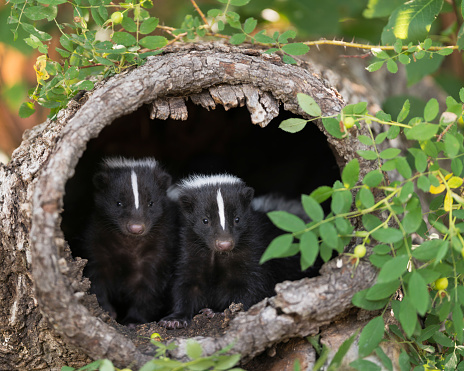 Two skunks looking out from tree stump 859308444