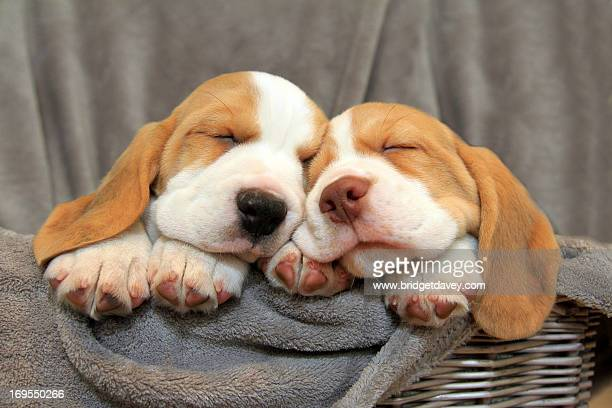 Two Sleeping Beagle Puppies