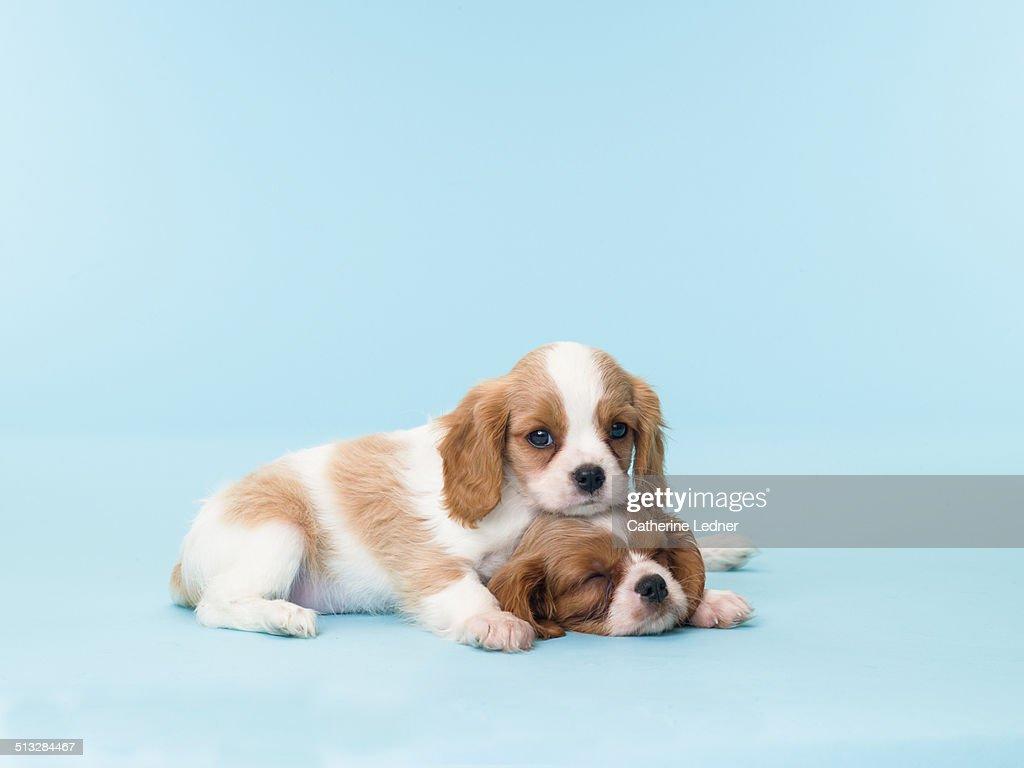 Two Sleepy Puppies : Stock Photo
