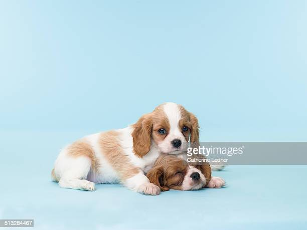 two sleepy puppies - schattig stockfoto's en -beelden