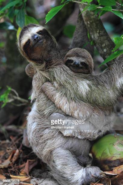 Two sloths in a tree.