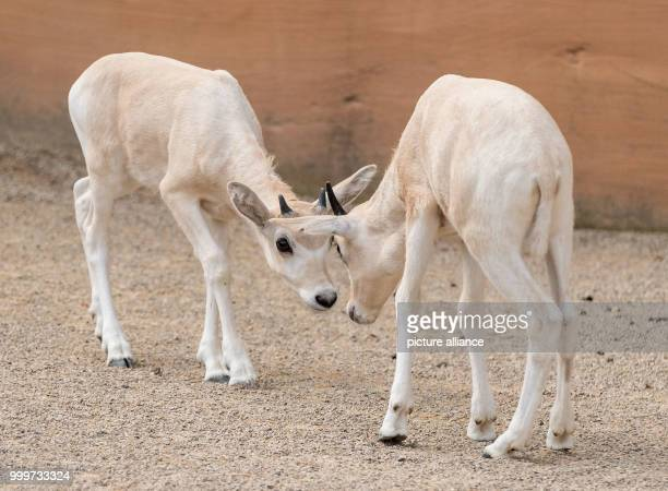 Two small Addax also known as white antelope play in their enclosure at the zoo in Hanover Germany 16 August 2017 Only six Addax were counted during...