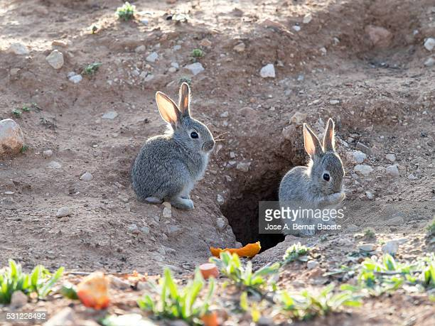 Two small babies of rabbit close to his burrow. ( Species Oryctolagus cuniculus.)