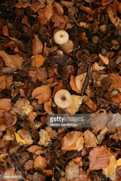 two small fungus growing through the beech nuts, seeds and leaves (fagus sylvatica) lying on the forest floor in autumn. - forest floor stock photos and pictures