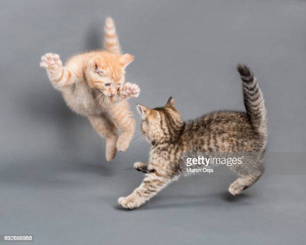 two small kittens playing with each other - domestic animals stock pictures, royalty-free photos & images