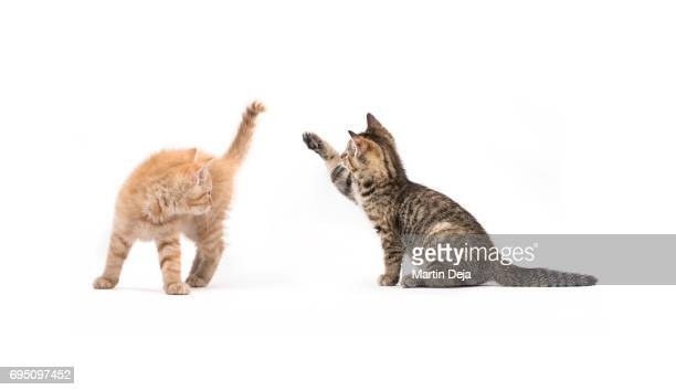 Two small kittens playing with each other