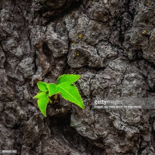Two small leaves sprouting from a thick tree trunk. Close up