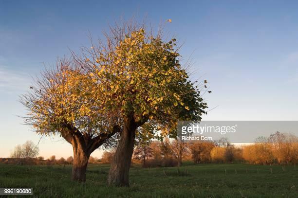 Two Small-leaved Lime trees (Tilia cordata) in autumn, coppiced, Rheinberg, Niederrhein or Lower Rhine region, North Rhine-Westphalia, Germany
