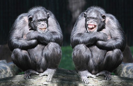 Two smiling chimpanzees sitting on a tree with arms crossed 471815237