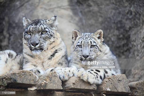 two snow leopards - plusphoto stock pictures, royalty-free photos & images