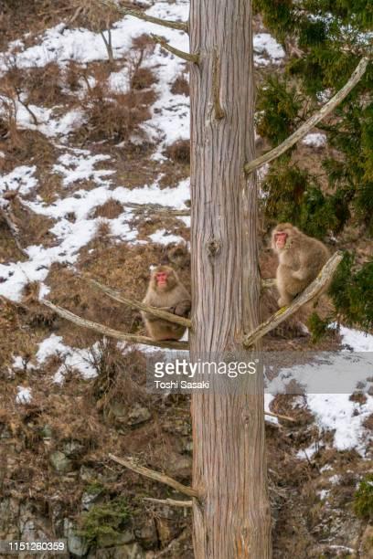 two snow monkey sit down on the branches of hinoki cypress among the snowy mountain in jigokudani snow monkey park (jigokudani-yaenkoen) at nagano japan on feb. 20 2019. - 猿 ストックフォトと画像