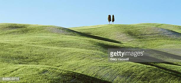 Two solitary Cypress Trees on a grassy hillside