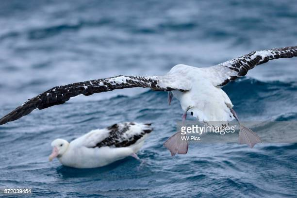 Two southern royal albatross one on the sea and the other in flight