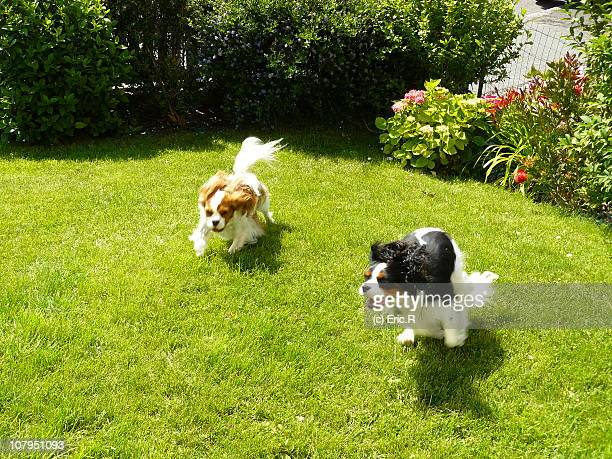 two spaniels - ille et vilaine stock pictures, royalty-free photos & images