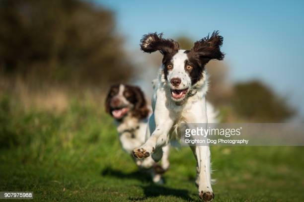 two spaniels running - spaniel stock pictures, royalty-free photos & images