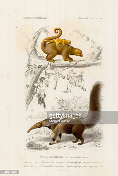 Two species of anteater, the silky anteater and the giant anteater, both native to southern Mexico and Central and South America.