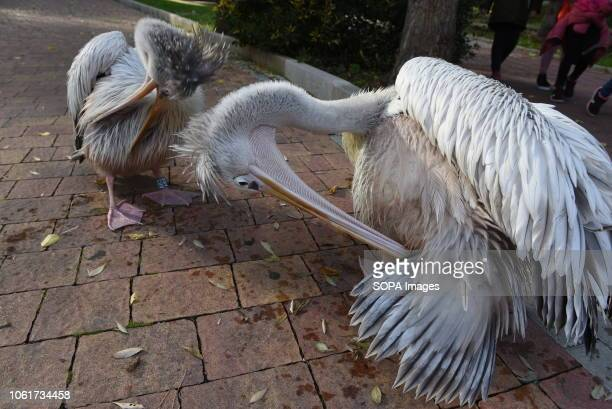 Two specimens of pelicans seen at Madrid zoo where they spend their first days
