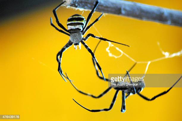 Two spiders battle on June 19 2011 in Aira Kagoshima Japan