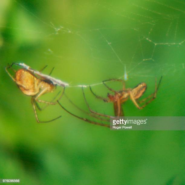two spiders in one web 5 - animal abdomen stock photos and pictures