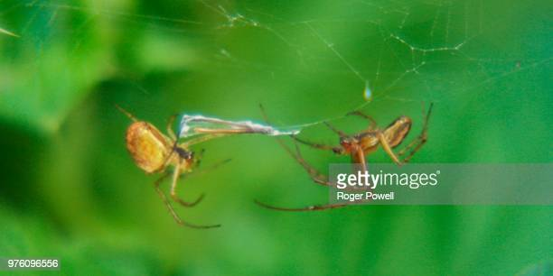 two spiders in one web 7 - animal abdomen stock photos and pictures