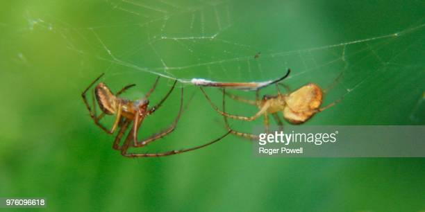 two spiders one web 44 - animal abdomen stock photos and pictures