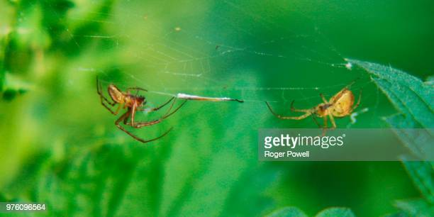 two spiders one web 55 - animal abdomen stock photos and pictures