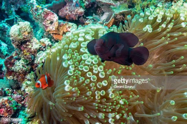 two spine cheek anemone fish - left : small male - right : big female - provincia de cebú fotografías e imágenes de stock