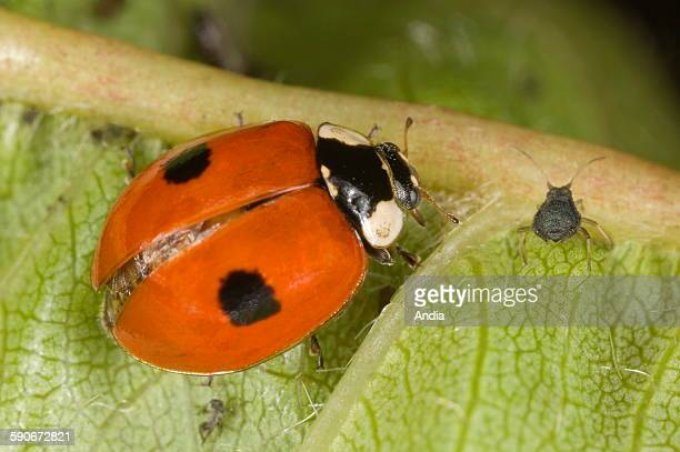 Two spot ladybird / ladybug eating aphids on a leaf. Biological fight against insects