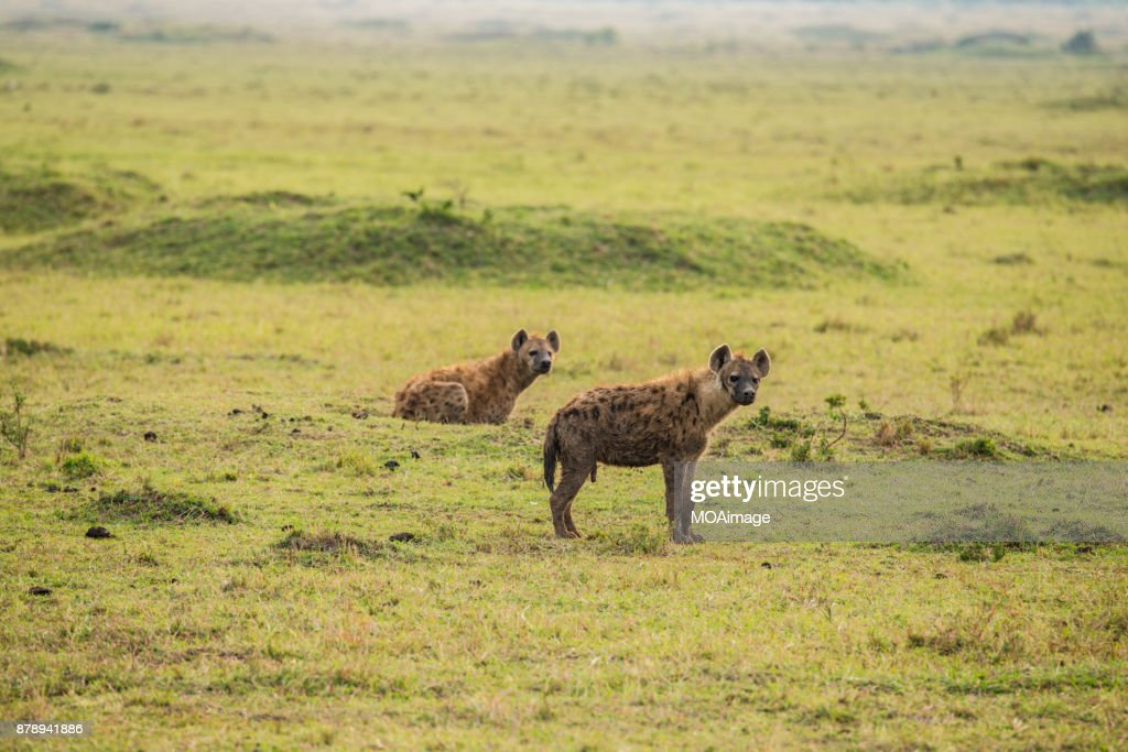Two Spotted Hyena on the prairie : Stock-Foto