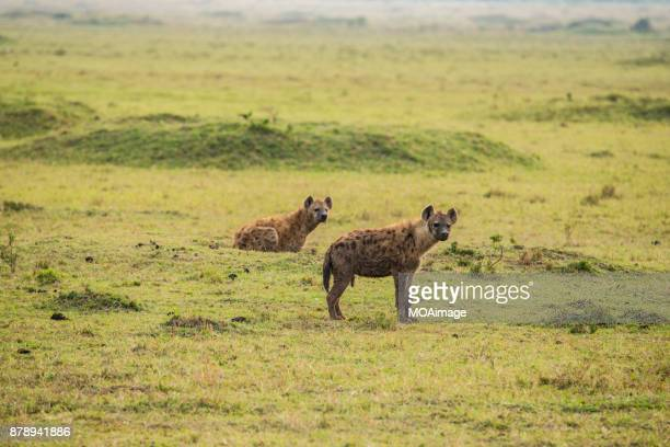 Two Spotted Hyena on the prairie