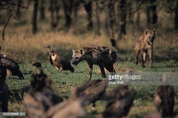 Two spotted hyenas (Crocuta crocuta) and vultures on savannah, Kenya