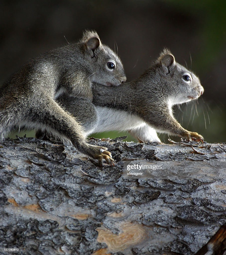 Two Squirrels : Stock Photo