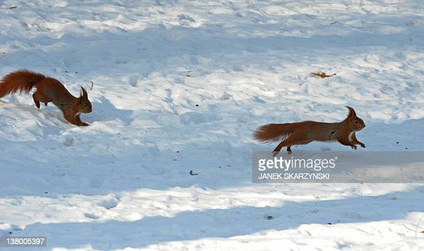 Two squirrels play in the snow as daytime temperatures plunged to a bonechilling minus 15 degrees Celsius in the Polish capital Warsaw's central...