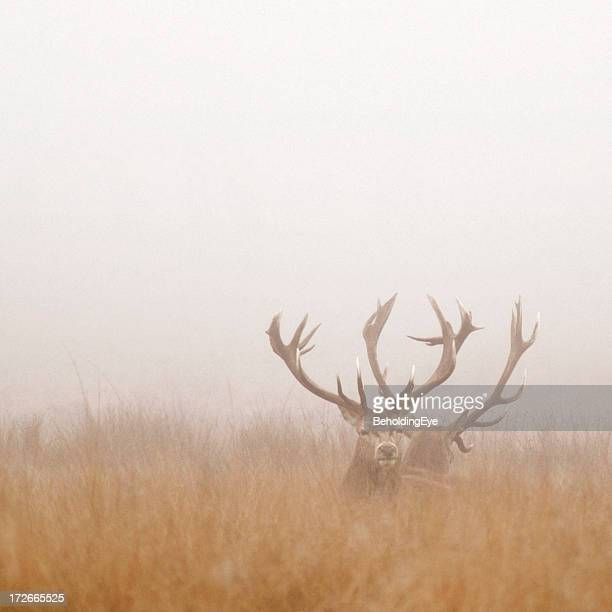 Two Stag Deer Resting in Field on Foggy Day