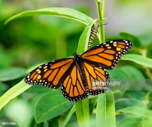 two stages - monarch butterfly stock pictures, royalty-free photos & images